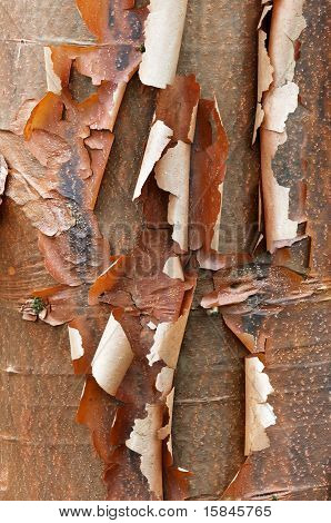 Bark Detail Of The Paperbark