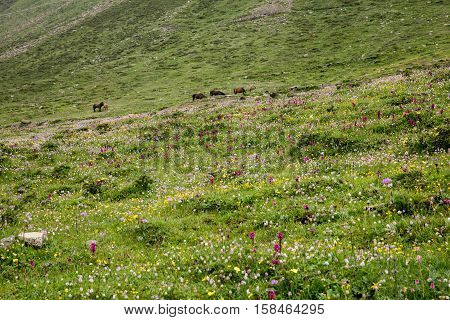 Grassland in Sichuan of balangshan , China
