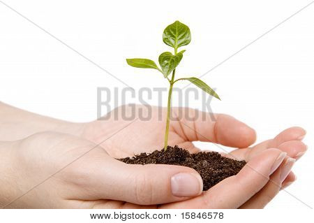 Small Sprout In Hands
