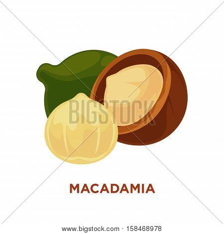 Macadamia nut isolated on white. Vector illustration.