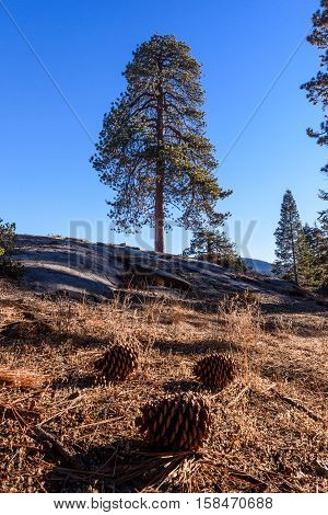 Sequoia Tree With Pinecones In The Foreground
