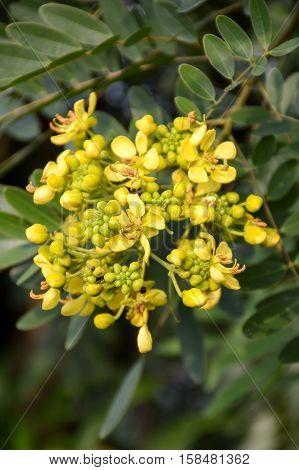 yellow senna siamea flower in nature garden