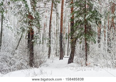 Fragment of winter forest with pine and birch trees covered with snow during a heavy snowfall