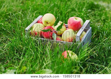 Wooden crate with red ripe organic apples in the grass