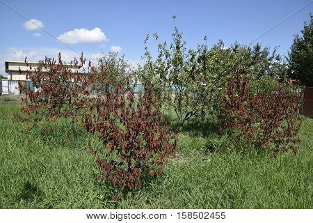 Fatalities Among Young Cherry Trees. The Result Of Waterlogging Of Roots. High Level Of Groundwater
