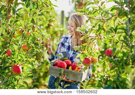 Young Woman Picking Ripe Organic Apples In Orchard Or On Farm On A Fall Day