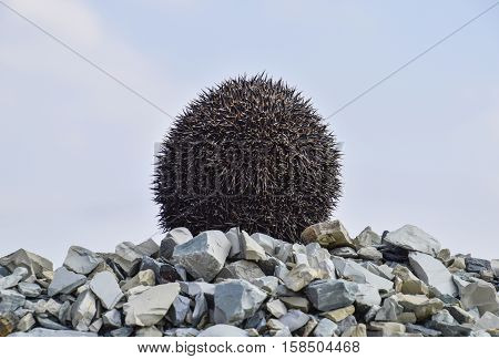 Hedgehog On A Pile Of Rubble. Hedgehog Curled Up Into A Ball