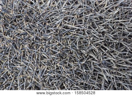 Texture Hedgehog Needles. The Surface Of The Hedgehog Back