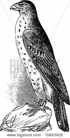Cooper's Hawk Or Accipiter Cooperi Vintage Illustration.
