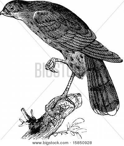 Sharp-shinned Hawk Or Accipiter Fuscus Bird Vintage Illustration.