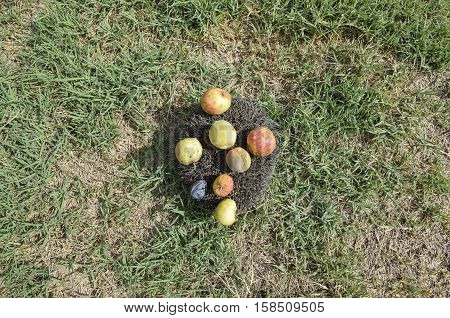 Hedgehog On A Green Grass. Hedgehog Needles Pinned On Apples, Peaches And Plums. Hedgehog Curled Up