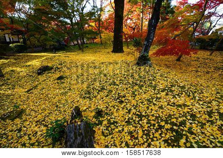 Beautiful golden yellow ginkgo leaves fallen on green grass during autumn in Kyoto, Japan