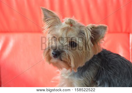 Picture Of A Beautiful Purebred Dog Breed Yorkshire Terrier