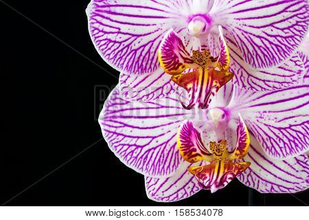 Close-up of striped white-pink orchid flower. Zen in the art of flowers. Macro photography of nature.