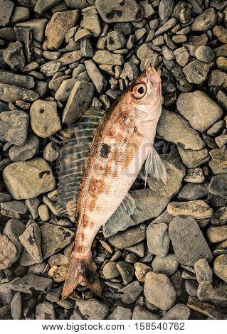 caught sea fish (Spicara) the caught sea fish (Spicara)