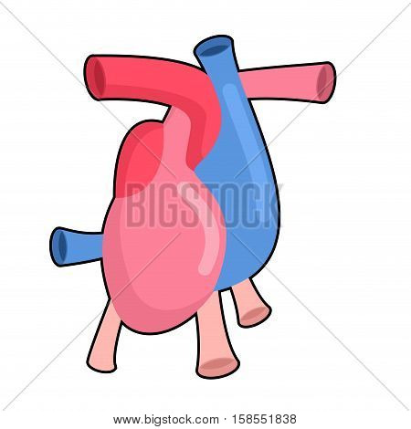 Heart Anatomy Body Isolated. Atria And Ventricles. Veins And Arteries.