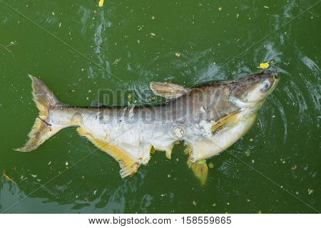 Dead Big fish floated in the green waste water.