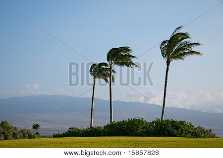 Palm Trees blowing in strong wind, golf course, stormy hurricane