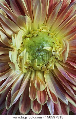 Dahlia flower (Dahlia x cultorum). Close up image of a flower