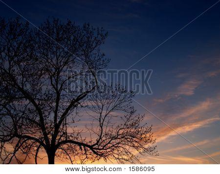 Árboles: nogal en Sunset