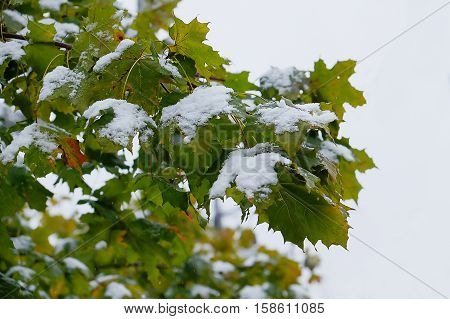 an early snow fell on still green leaves