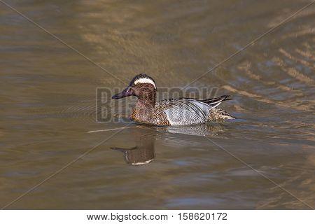 mirrored male garganey duck (Anas querquedula) swimming