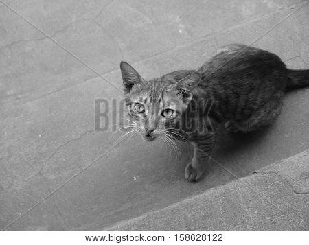 SNARLING CAT (angry cat looking at camera hissing aggressively)