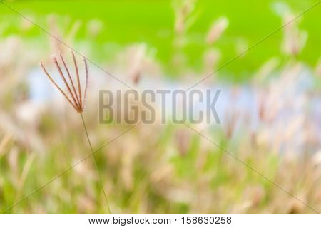 Blurred photo of swollen finger grass natural abstract background.
