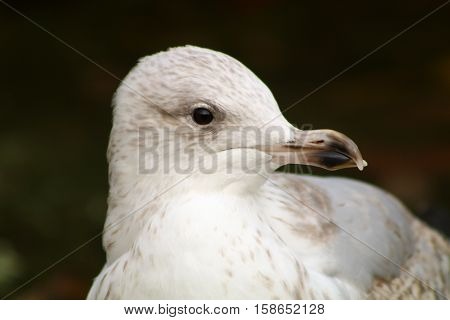 A second winter Herring Gull with a slightly deformed beak