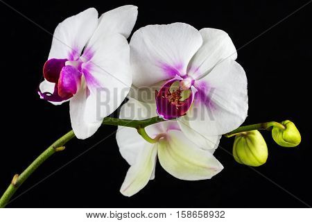 Close-up of white-pink orchid flower. Zen in the art of flowers. Macro photography of nature.
