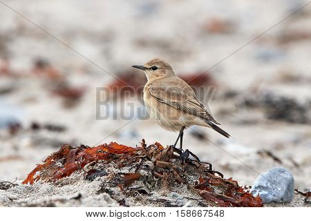Isabelline wheatear standing in sand in its natural habitat