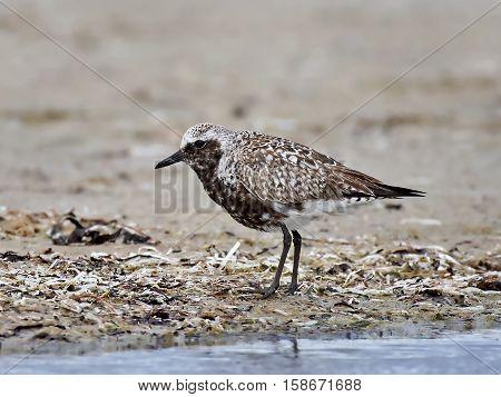 Grey plover standing in sand in its habitat
