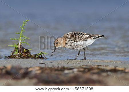 Sanderling looking for food in its natural habitat