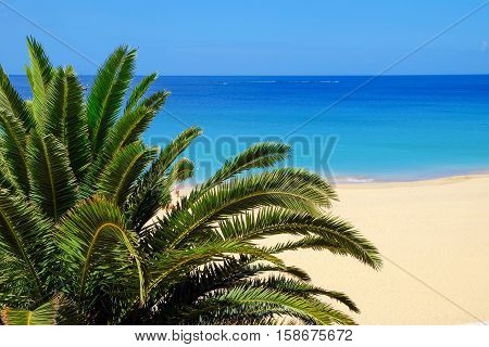 View on a palm tree with green leaves and a beach Playa de Morro Jable on the background. Location Canary island Fuerteventura Spain.