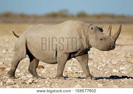 A black rhinoceros (Diceros bicornis) in natural habitat, Etosha National Park, Namibia