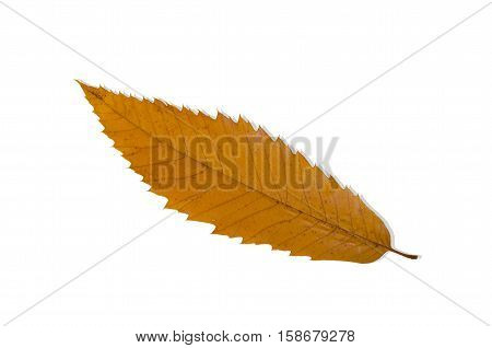 Sweet chestnut leaf (Castanea sativa) in autumn colour, isolated on white.
