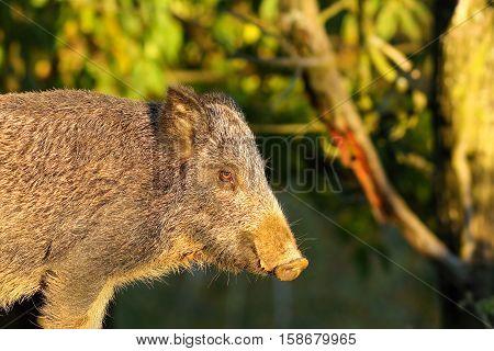 close up of wild boar ( Sus scrofa )