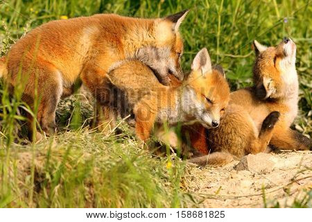 family of red foxes playing near the den cute happy cubs ( Vulpes )