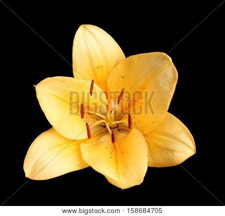 Beautiful yellow lily on black background