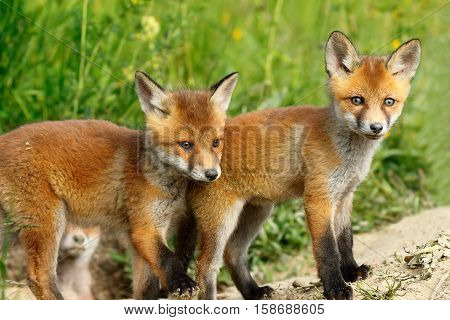 two cute red fox brothers young wild animals near the burrow ( Vulpes )