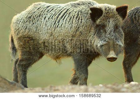 curious wild boar looking at camera ( Sus scrofa )