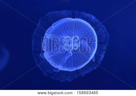 underwater image of moon jellyfishes in the depth
