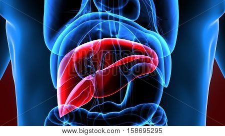 3d illustration human body highlighted liver system