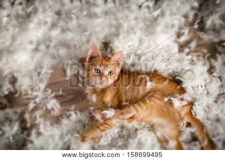 Little kitten playing with  feathers