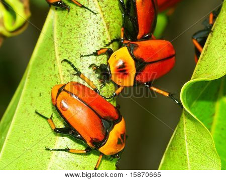 Flower Beetles - Queensland