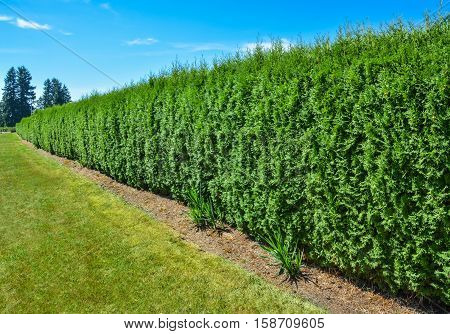 Long green hedge with a lawn and blue sky background