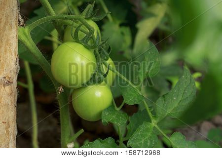 the green tomatoes is growing on branches