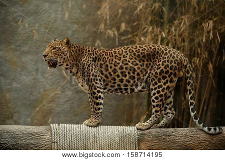 Leopard, Panther pardus kotiya, Big spotted cat lying on the tree in the nature habitat, national park Chiang Mai