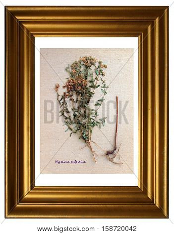 Herbarium from pressed and dried flower of perforate St John's-wort (Hypericum perforatum) in the frame.