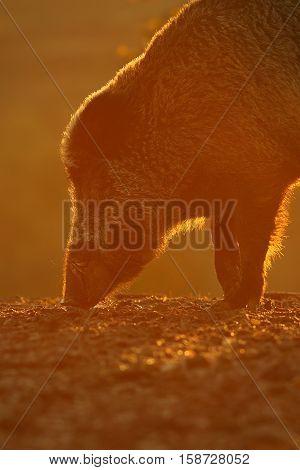 wild boar portrait in beautiful orange sunset light ( Sus scrofa )